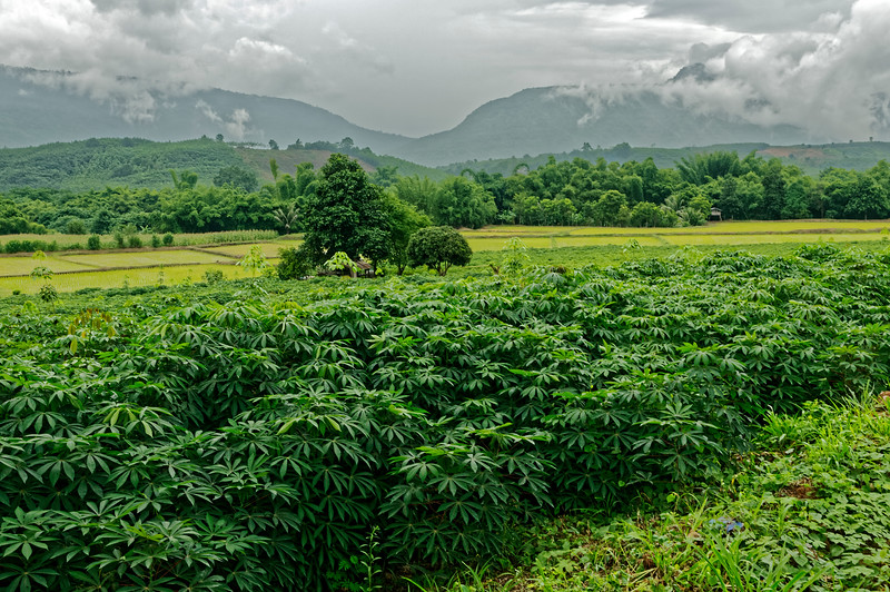 Cassava field, north-central Isaan, with rice and corn fields in the distance. Cassava can grow year round in infertile soil, making it well suited for cultivation in Isaan. It is raised for its edible starchy root and as a source of tapioca. Cassava chips are also used in biofuel.