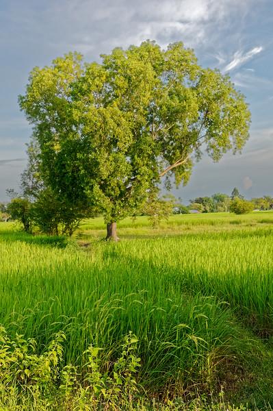 Isaan rice field