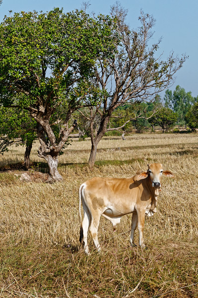 A young bull poses for his portrait, in Sisaket.
