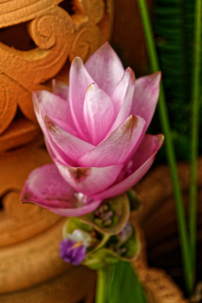 "The Siam tulip <i>(Curcuma alismatifolia)</i> thrives in northern Isaan, where it is called <i>bua sawan,</i> ""heavenly lotus."" The common names notwithstanding, it is neither a tulip nor a lotus but a member of the ginger family."