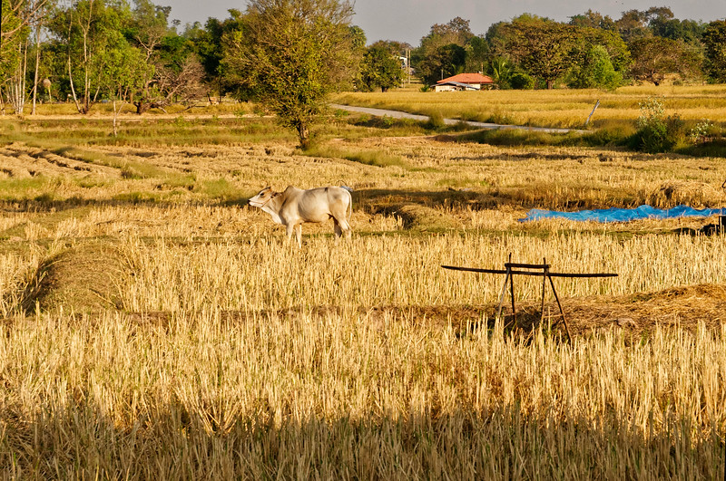 Another harvested rice field