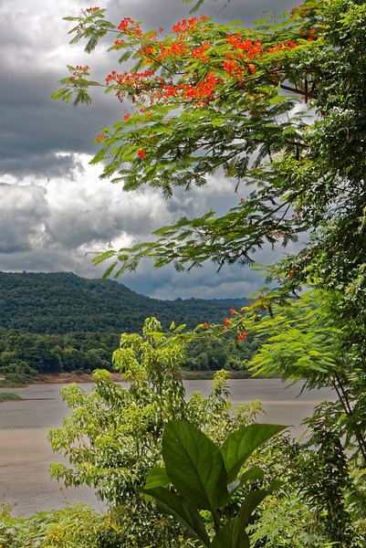 Royal Poinciana above the Mekong at Khongjiam, where the Mun River joins the Mekong—the two of them, however, flowing in opposite directions.