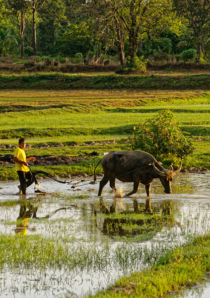 Rice farmer preparing his field for planting. Tractors and motorized tillers are widely used today, but water buffalo are still used by many farmers.