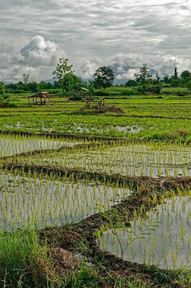 Transplanted rice shoots, Khon Kaen