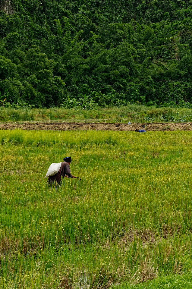 Harvesting second-growth rice grains with scythe in hand