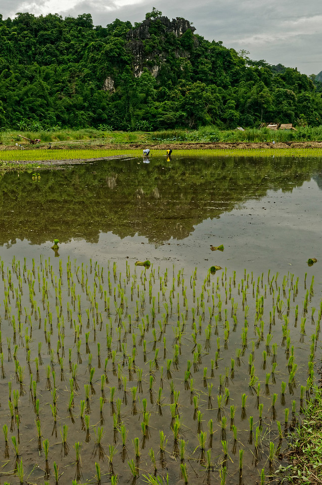 Transplanting young rice shoots from their seed beds, Khon Kaen