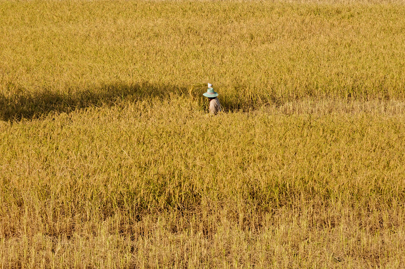 Lone harvester in a sea of rice