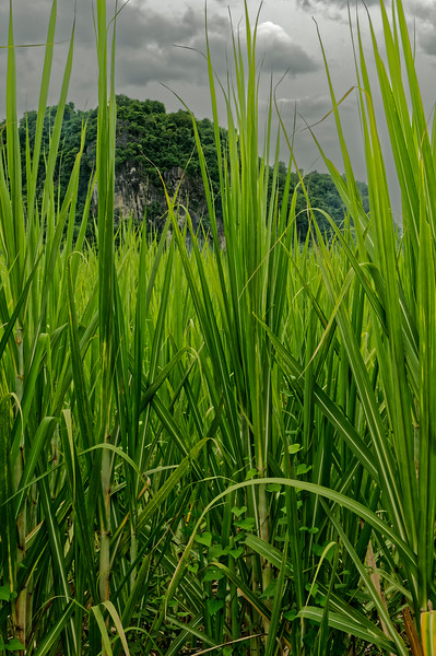Rice plants, Khon Kaen