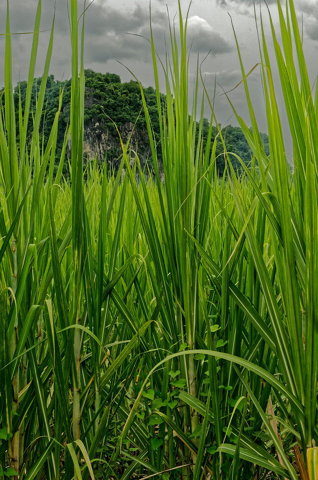 Rice plants, Khon Kaen