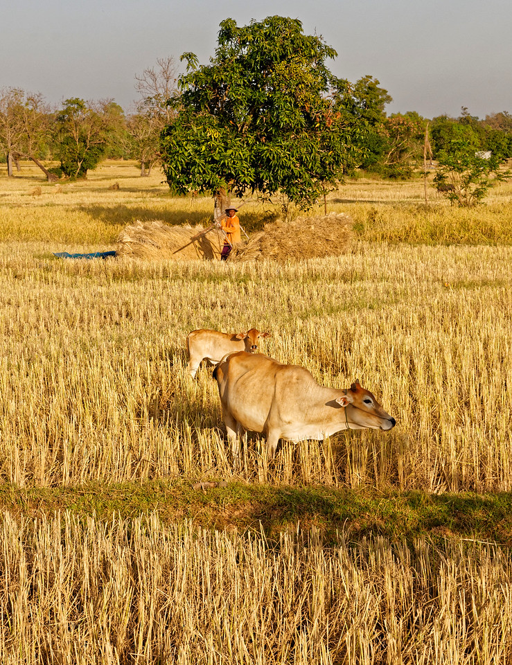 The season's crop harvested, a rice farmer gathers stalks for feed for his livestock.