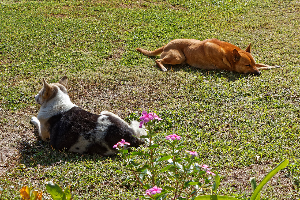 And two pooches at Wat Chiang Man