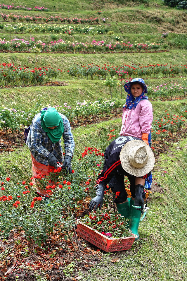 Gardeners at the Royal Agriculture Station Inthanon on the slopes of Doi Inthanon, Thailand's highest mountain, northern Thailand