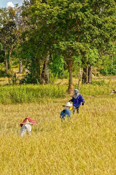Hand-harvesting rice, Sisaket