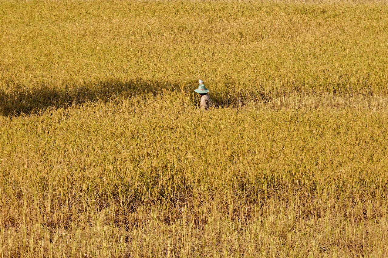 Lone rice harvester, Sisaket
