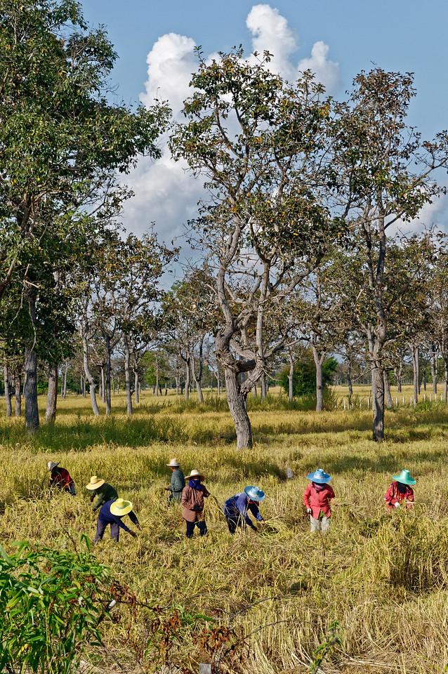Rice harvesters, Rasi Salai, Sisaket Province