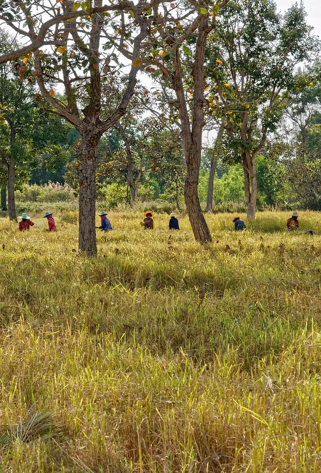 Harvesting rice by hand, Rasi Salai, Sisaket Province
