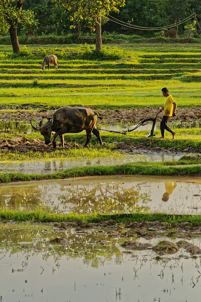 At the start of the rainy season in lower Isaan's Sisaket Province, a farmer uses a traditional water-buffalo-pulled plow to prepare his rice fields, taking advantage of the early morning's wet soil following a night of heavy rain.