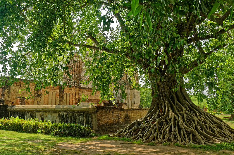 Sacred fig tree just outside the wall surrounding Wat Si Sawai. Among its roots are a number of merit-making offerings, many in the form of miniature Buddha images.