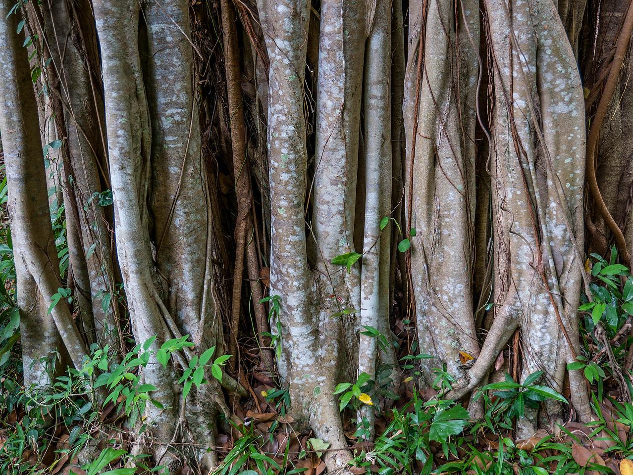 Banyan roots