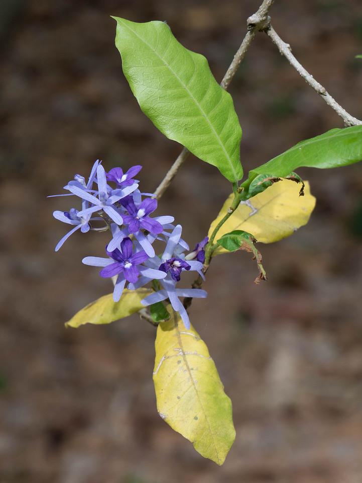 Purple wreath, a vine, also called queen's wreath or sandpaper vine