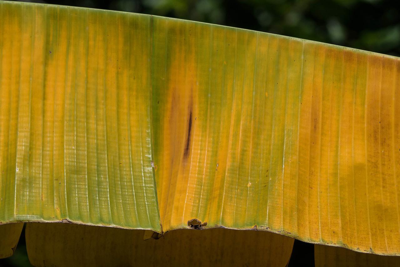 Leaf of a banana plant