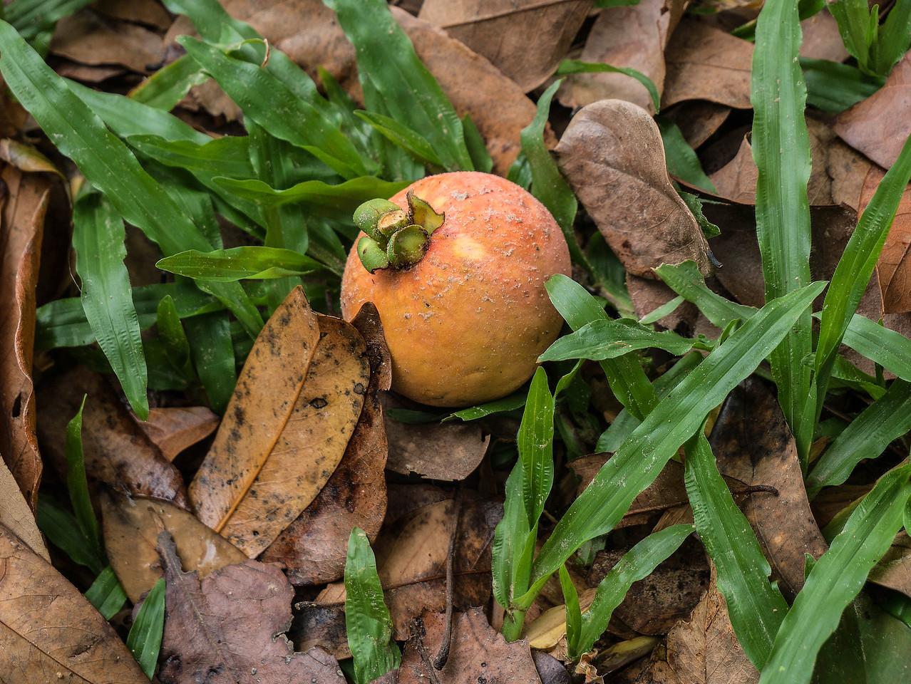Forest mangosteen
