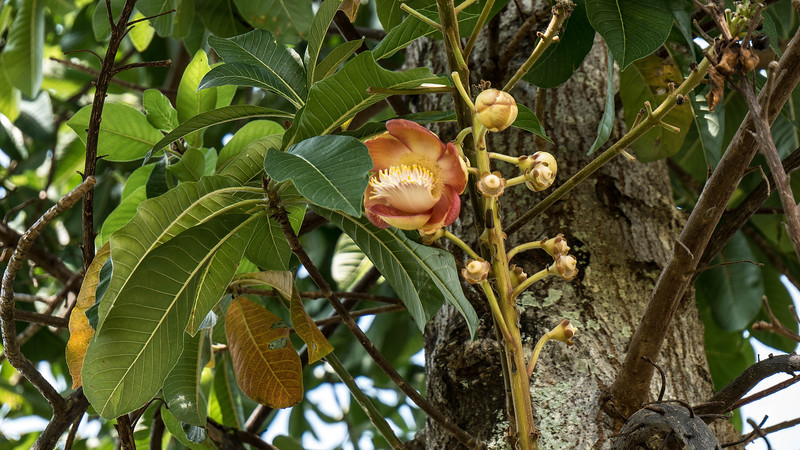 Infloresence and buds of a cannonball tree