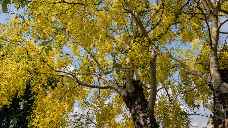 Golden shower tree (<i>Cassia fistula</i>)