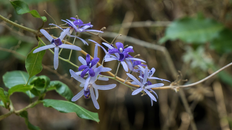 Purple wreath or sandpaper vine (<i>Petrea volubulis</i>)
