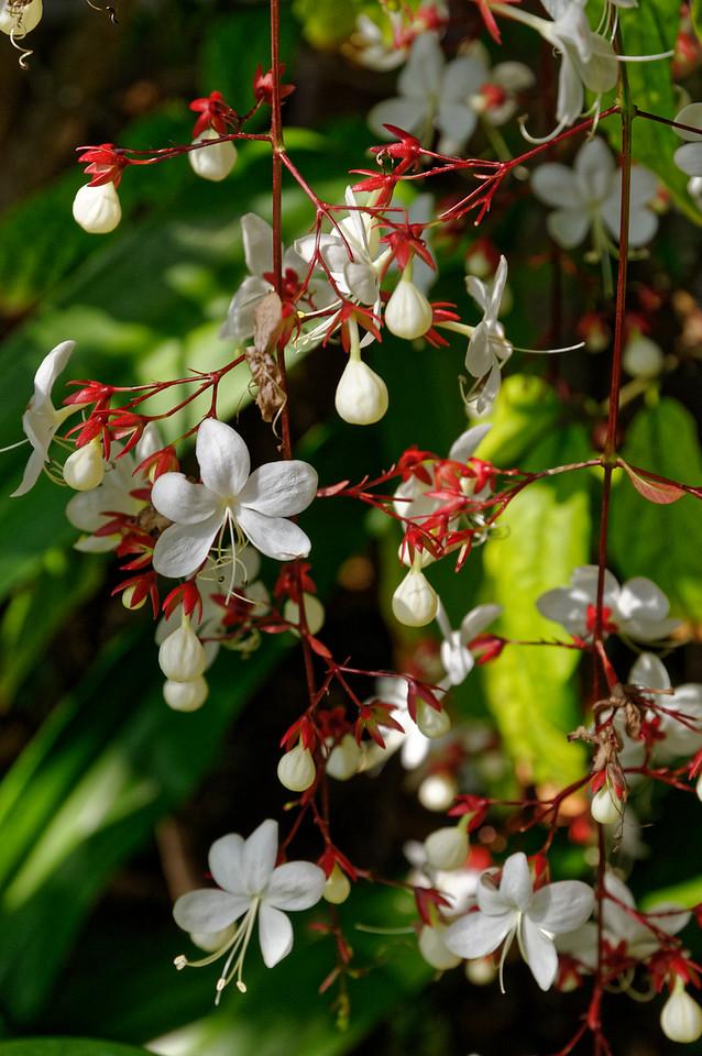 <i>Clerodendrum smithianum,</i> Light Bulb plant