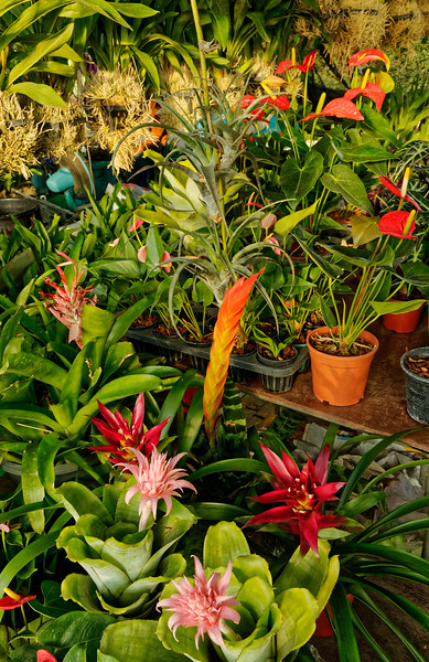 Bromeliads and anthurium