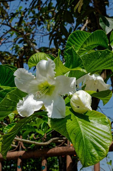 Herald's trumpet <i>(Beaumontia grandiflora)</i>