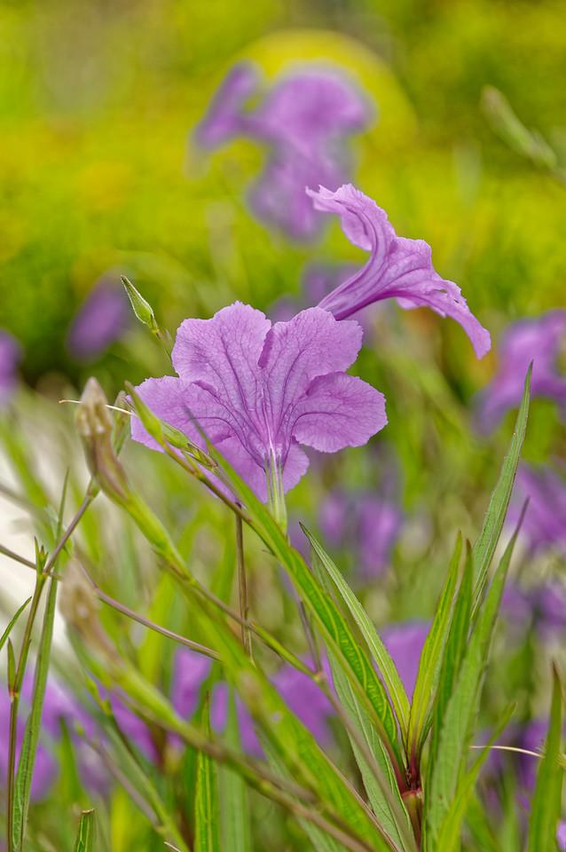 Minnieroot <i>(Rosellia tuberosa)</i>