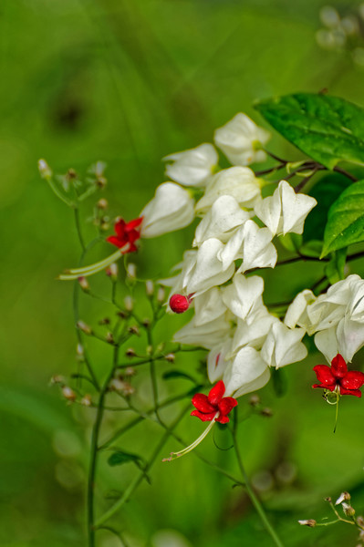 Bleeding Heart vine (<i>Clerodendrum thomsoniae</i>)