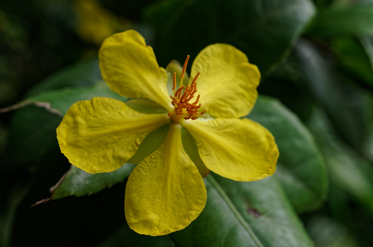Flower of the Mickey Mouse bush <i>(Ochna serrulata)</i>