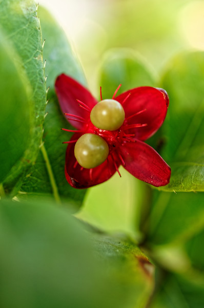 Mickey Mouse bush <i>(Ochna serrulata).</i> Size of the original:  about 1/2-inch from the tip of one red petal to the tip of another