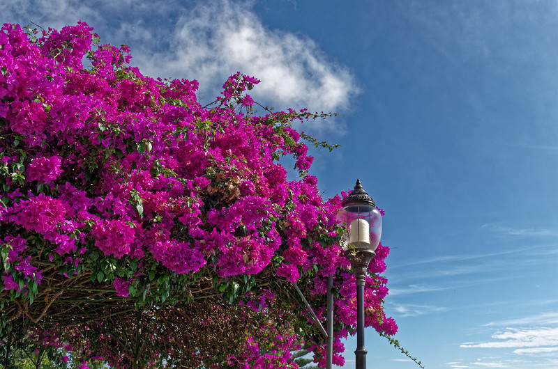 Bougainvillea at Wat Doi Suthep, Chiang Mai