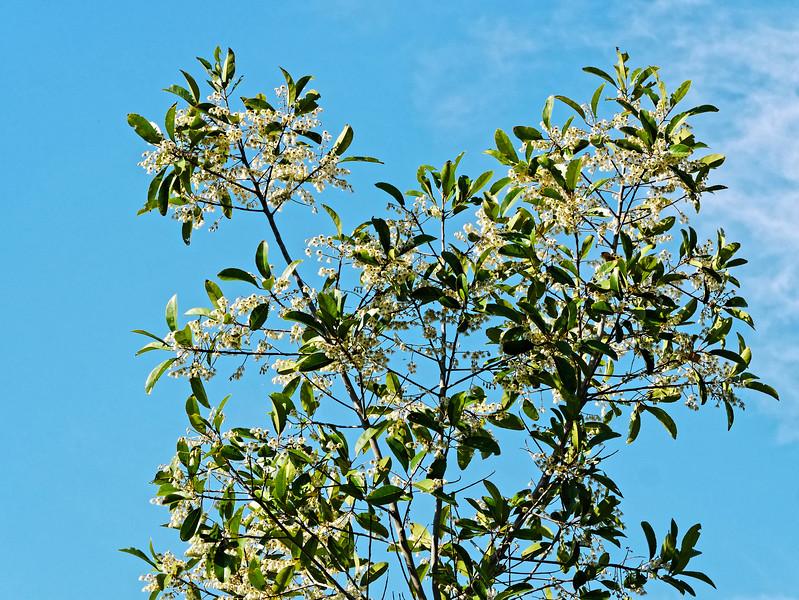 Thai olive tree (<i>Elaeocarpus hygrophilus</i>) in flower
