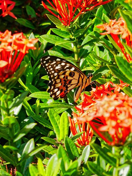 Butterfly on ixora