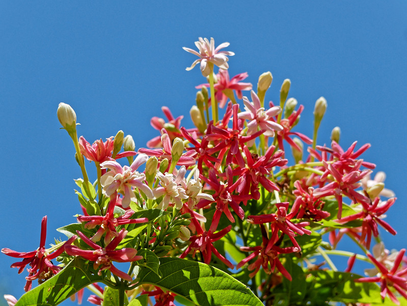 Rangoon creeper or Chinese honeysuckle