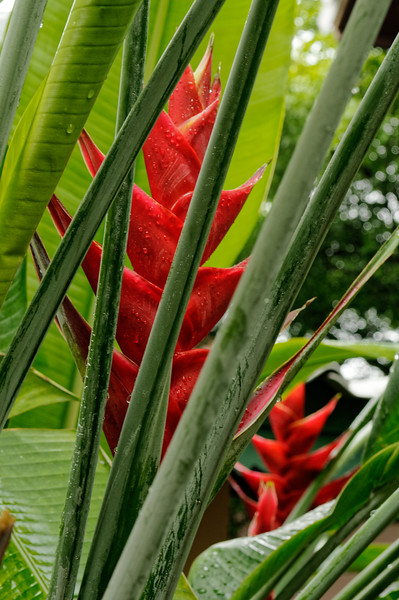 Lobster claw heliconia <i>(Heliconia stricta)</i>