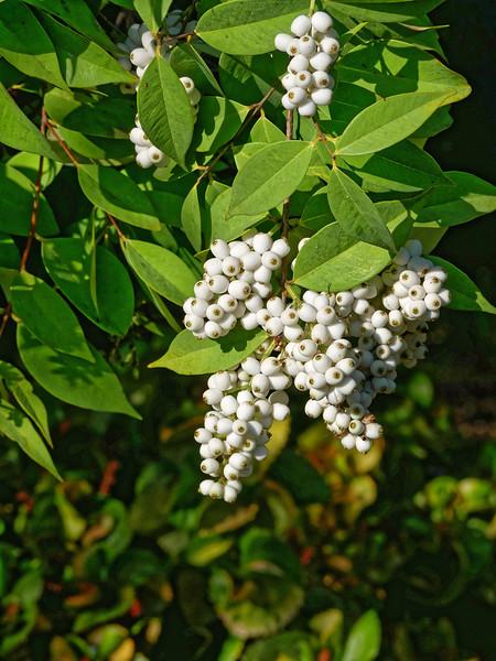 Berries of the shore eugenium tree (<i>Syzygium antisepticum</i>)
