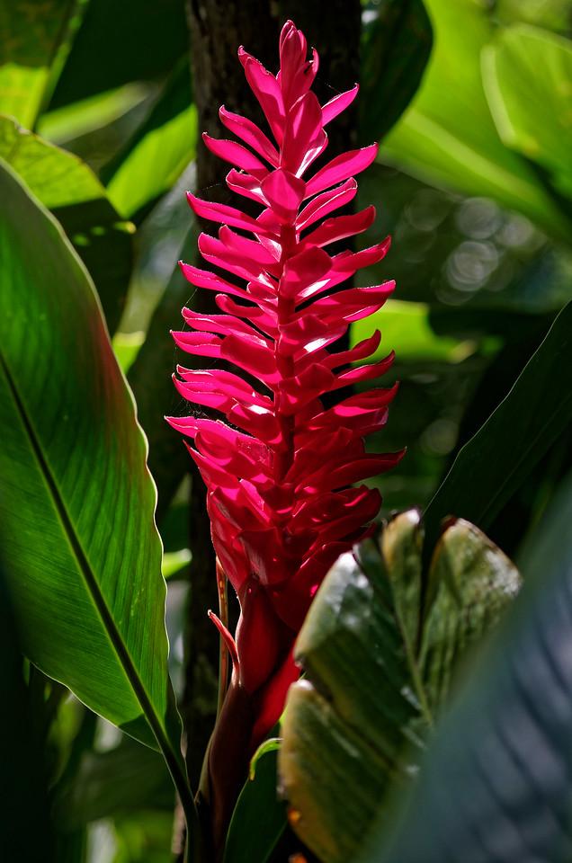 Red ginger <i>(Alpinia purpurata)</i>