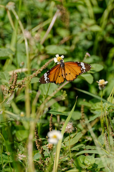 Plain tiger butterfly <i>(Danaus chrysippus)</i>