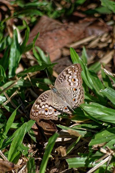 Gray pansy butterfly <i>(Junonia atlites)</i>