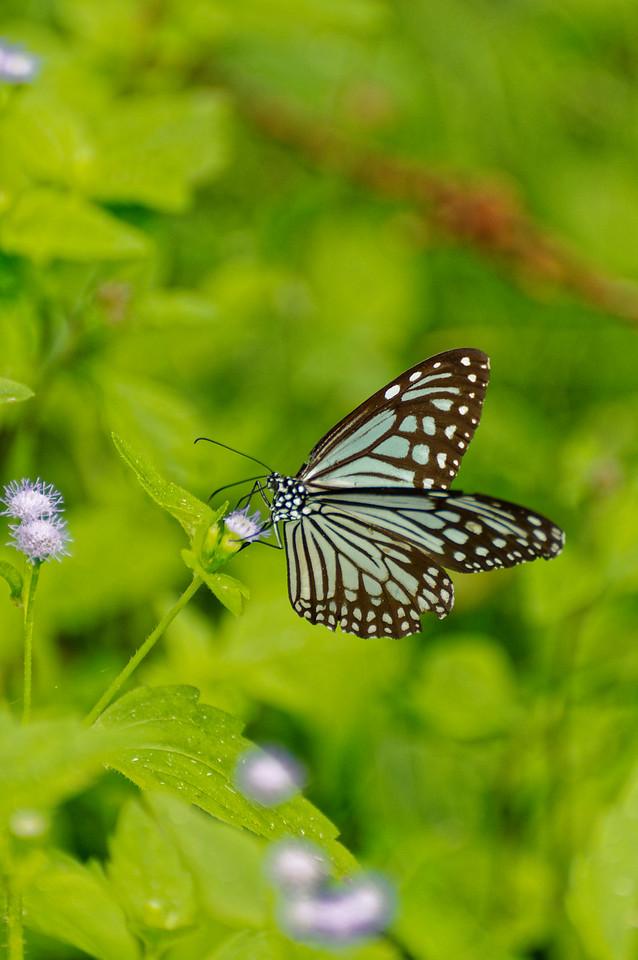 Chocolate tiger butterfly <i>(Parantica melaneus)</i>