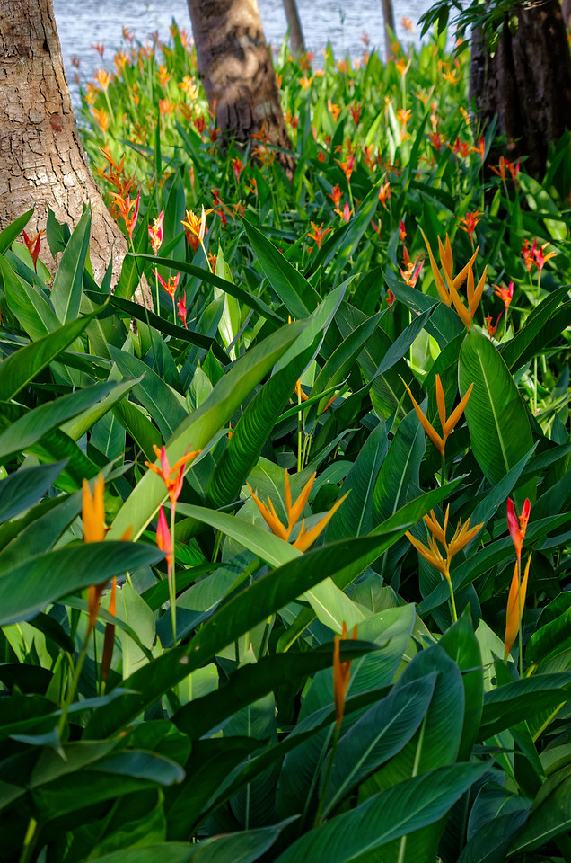 Field of heliconia