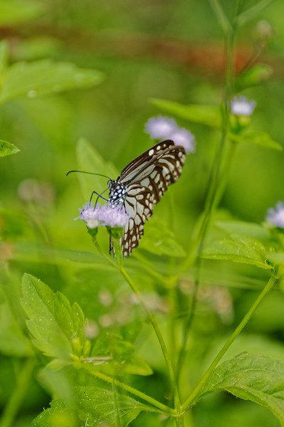 Chocolate tiger butterfly <i>(Parantica melaneus)</i>