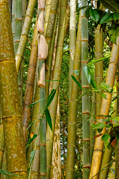 Bamboo clump