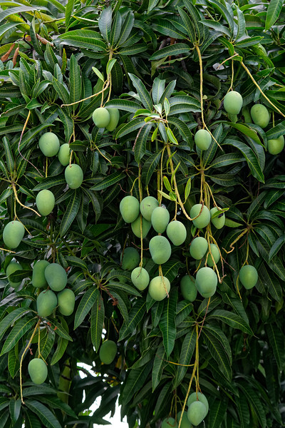 Ripe mangoes—just waiting to be picked
